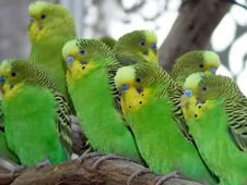 Parakeets flock to Manor thumbnail